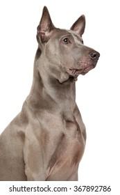 Thai Ridgeback dog. Portrait on isolated white background