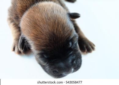 Thai Ridge-back Dog puppy sleeping