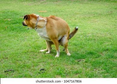 Thai Ridgeback Dog(Thai Lang-An dog) poops in the green park.