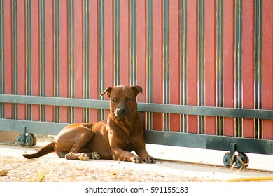 Thai Ridgeback(Thai Lang Ah) is an ancient landrace of dog, background is red fence, pets at home.