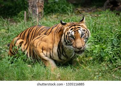 Thai royal tiger