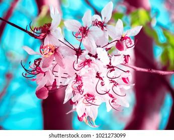 Thai sakura blossom. Cassia bakeriana. Pink flower. Pink blossom. Thai sakura flower.