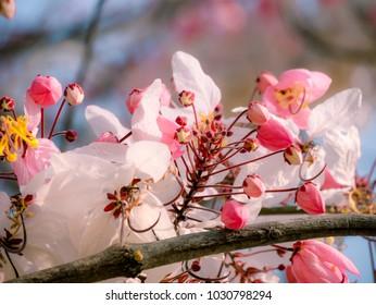 Thai sakura blossom. Cassia bakeriana. Pink flower. Pink blossom. Thai sakura flower. Pink pastel tone. Pink sakura flower.