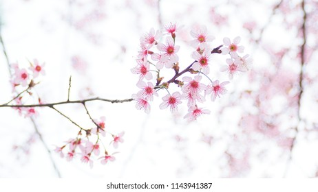Thai Sakura, Chiang Mai, Thailand, Beautiful pink flower blooming on the mountain, Blossom in winter season, Thai sakura on the sky, Beautiful pink flower in spring time