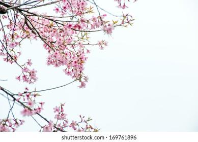 Thai Sakura pink flower in ChiangRai, Thailand