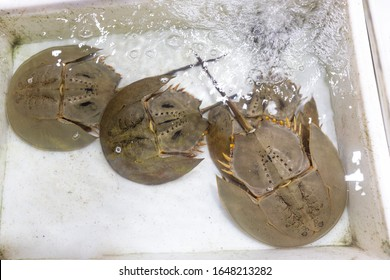 Thai seafood market. One of the oldest animals on earth - Horseshoe crab. Marine and brackish water arthropods of the family Limulidae. Origin 450 million years ago, horseshoe crabs are fossils