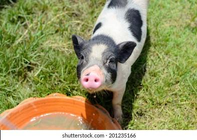 Thai style Vietnamese Pot Belly piglet nursery house in Thai pig farm