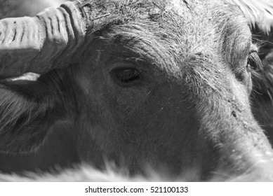 Thai water buffalo face