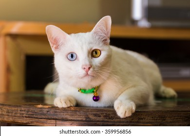 Thai white cat with two color of eyes