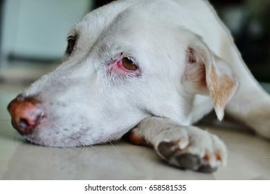 Thai white dog lying on cement floor