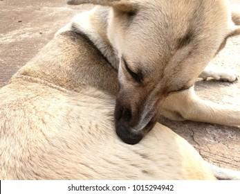 Thai white dogs bite ticks and fleas clean.