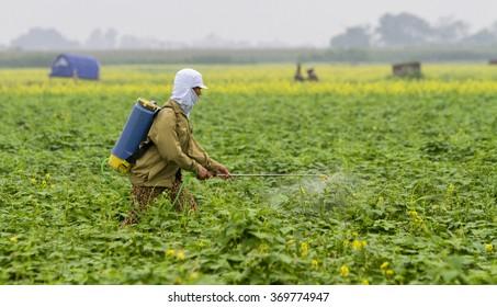 THAIBINH, VIETNAM - DEC 01, 2015: Unidentified farmer on the brassicaceae yellow flower field at THAIBINH, VIETNAM on DEC 01, 2015.