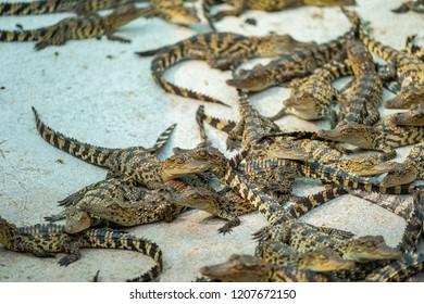 Thailand Baby Crocodile looking