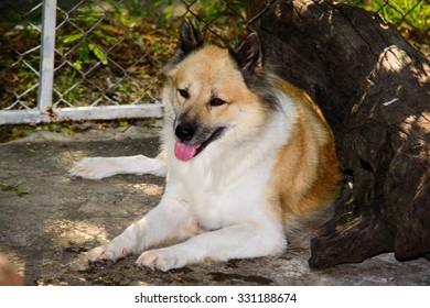 Thailand Bangkhaew dog breed.