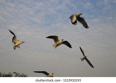 THAILAND, Bangpoo, The seagull bird in the sky