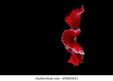 Thailand betta fish isolated on black background.