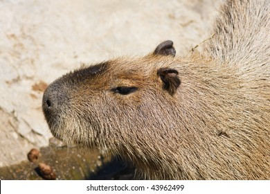 Thailand, Chang Mai, Chang Mai zoo,  Capybara (Hydrochaeris hydrochaeris), the world's largest rodent, common in South America