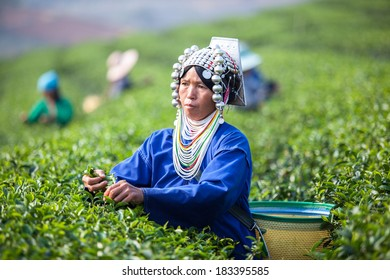 THAILAND, CHENG RAI - MARCH 3, 2014: Unidentified Thai Hmong woman harvests tea leaves at tea plantation at Choui Fong. Only uppermost leaves are collected and workers collect daily.