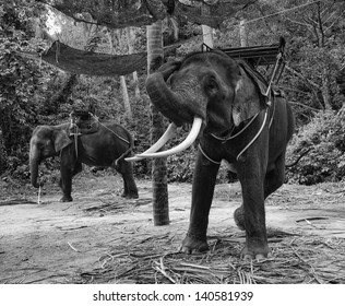 Thailand, Chiang Mai, asian elephants