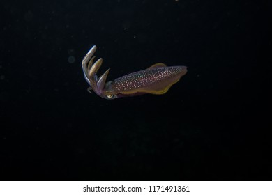 Thailand: cuttlefish or squid hunting in the dark ocean during a night dive in the Andaman Sea
