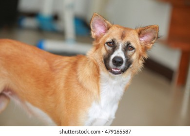 Thailand dog with brown , white and black .