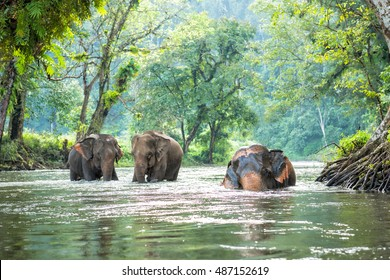 Thailand elephant walking in the river