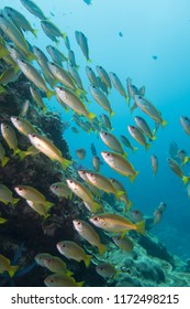 Thailand: Large school of shiny Fusilier fishes at Richelieu Rock