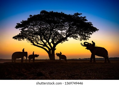 Thailand Nature of elephants silhouette under tree and mahout sunrise morning time
