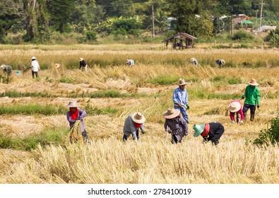 THAILAND- NOVEMBER 17:Farmers are harvesting rice, During harvest time on NOVEMBER 17, 2012 in Phra Nakhon Sri Ayutthaya, Thailand.