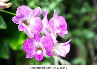 Thailand pink orchid flowers.