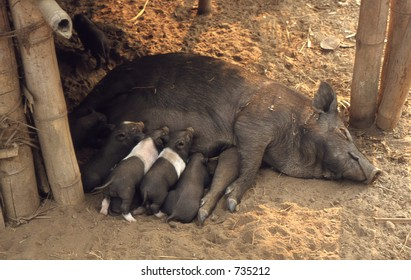 In thailand a pork female with children under the house giving the milk