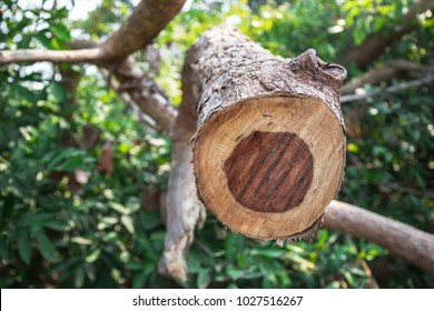 Thailand Rosewood tree cutting branch
