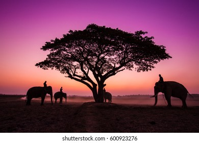 Thailand Silhouette elephant on the background of sunset,