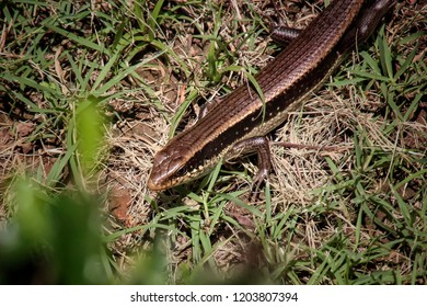 Thailand skink or East Indian brown mabuya on ground behind Bushes.