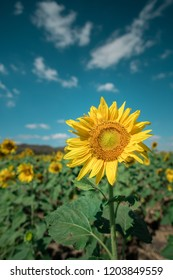 Thailand sunflowers field and blue sky