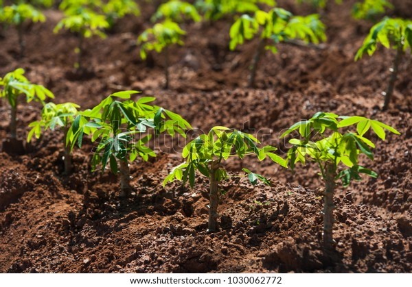 Thailand Top Exporter Cassava World Cassava Stock Photo (Edit Now