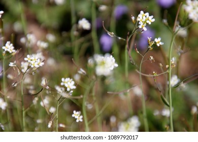 Thale cress  (Arabidopsis thaliana) in bloom
