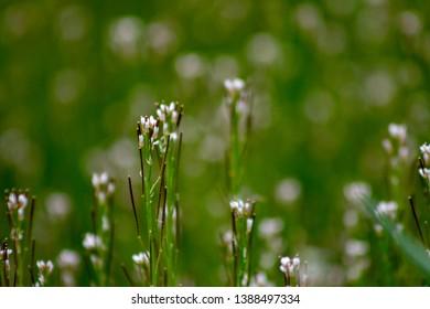 Thale cress (Arabidopsis thaliana) in bloom