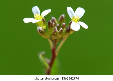 Thale cress (Arabidopsis thaliana) blossoms and buds macro picture