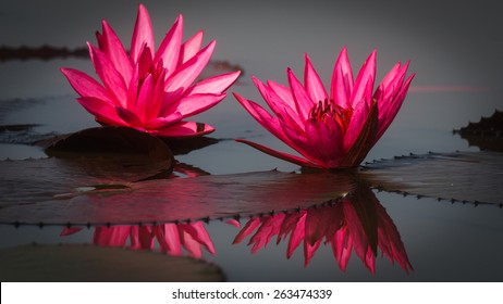 Thale Noi Waterbird Park, Phatthalung, Thailand - The twin water lily share their shining beauty to the world