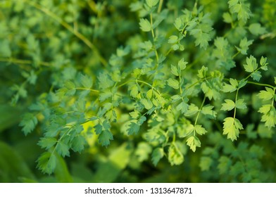 Thalictrum minus or lesser meadow rue green plant background