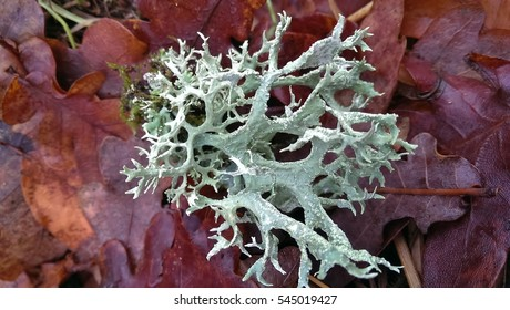 Thallus species of lichen Oakmoss (Evernia prunastri) in close-up on a background of leaves in autumn. Ina Landscape Park, Poland.