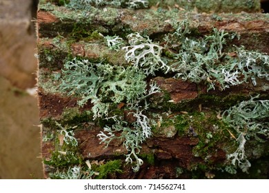 Thallus species of lichen Oakmoss (Evernia prunastri) in close-up. Ina Landscape Park, Poland.