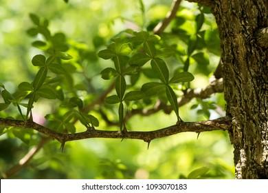 Thanaka or Hesperethusa crenulata (Roxb.) M. Roem. ,green leaves and tree have property medicine on natural background.