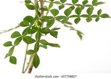 Thanaka(Hesperethusa crenulata (Roxb.) M. Roem.) Tree.