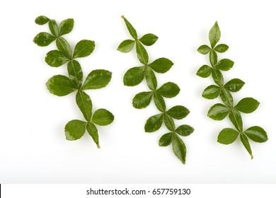 Thanaka(Hesperethusa crenulata (Roxb.) M. Roem.) Green leaves.