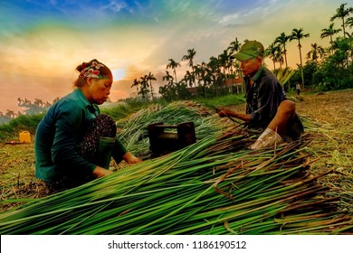 THANHHOA, VIETNAM September 16, 2018: Farmers harvest and process seagrass for mats and handicrafts. The seagrass is one of many industrial trees in Vietnam.