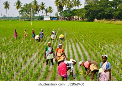 Thanjavur - Dec 03 2016: Ladies working in the paddy fields pose for a photograph. Thajavur is called the rice bowl of Tamil Nadu owing to the many paddy fields in the region.