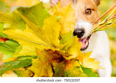Thanksgiving concept with dog and autumn maple leaves