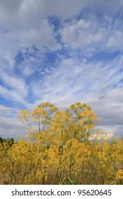 Thapsia villosa. Yellow flowers and blue sky.